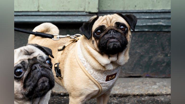 Pug Pup Up Cafe - Brighton